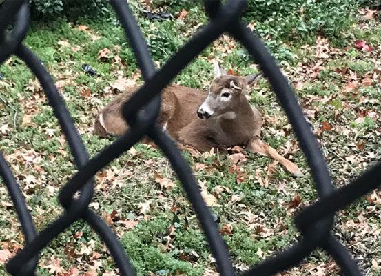 deer-in-harlem-park
