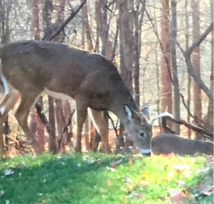 deer-in-harlem-park1